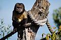 Zoo Zuerich Gelbbrustkapuziner3.jpg