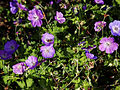 'Geranium pratense Mrs Kendall Clarke' Capel Manor College Gardens Enfield London England 2.jpg