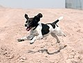 'Harvey' the Springer Spaniel is an Arms Explosive Search (AES) dog, currently serving in Afghanistan MOD 45148184.jpg