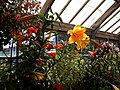 'Lilium Golden Splendour' in the Walled Garden greenhouse at Parham House West Sussex England.jpg