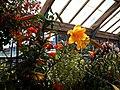 'Lilium Golden Splendour' in the Walled Garden greenhouse at Parham House West Sussex England.jpg