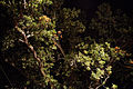 'Quercus robur' at night Nuthurst West Sussex England 2.jpg