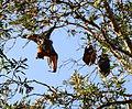 (1)Bats Centennial Park 043.jpg