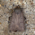 (2299) Mouse Moth (Amphipyra tragopoginis) (5970742727).jpg