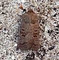 (2382) The Rustic (Hoplodrina blanda) (5937090881).jpg