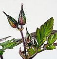 (MHNT) Geranium robertianum - buds.jpg