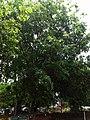 (Terminalia Arjuna) tree at Vivekananda park in Kakinada.jpg