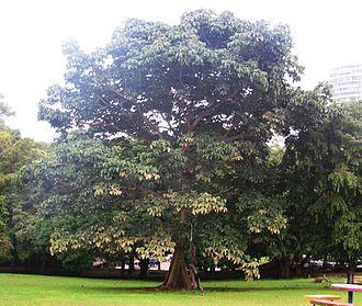 Sterculia - Panama tree, S. apetala