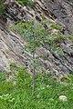 Árbore en Les Pardines. Andorra 251.jpg