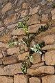 Épervière des murailles-Hieracium murorum-20150413.jpg