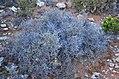 Χλωρίδα Σίφνου 4.jpg