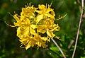 Азалія понтійська – цвітіння.jpg