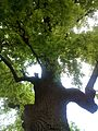 Багатовіковий дуб, Прилуцький район, м. Прилуки,вул. Гірняка,11 (напроти Боброва,35) 74-107-5003 08.jpg