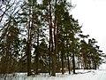 Вертужские сосны Vērtūžu priedes - panoramio.jpg