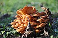 Гриб зимовий, опеньок зимовий (Flammulina velutipes).jpg