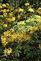 Рододендрон жёлтый в Минском ботаническом саду 02.jpg
