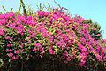 Цветы в Бельдиби.JPG
