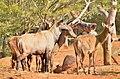 ฺBlue Bull 's flock at Korat Zoo.jpg