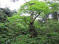 めぐすりの木 - panoramio.jpg