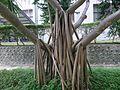 人社中心後的紅刺露兜樹氣根 - panoramio.jpg