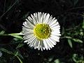 加勒比飛蓬 Erigeron karvinskianus -維也納大學植物園 Vienna University Botanical Garden- (28362070350).jpg