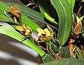 多色腋唇蘭 Maxillaria variabilis -香港沙田洋蘭展 Shatin Orchid Show, Hong Kong- (9216084264).jpg