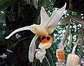 奇唇蘭屬 Stanhopea embreei -日本大阪鮮花競放館 Osaka Sakuya Konohana Kan, Japan- (41355915344).jpg
