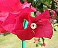 小花紅光葉子花 Bougainvillea glabra 'Milo' -深圳蓮花山公園 Shenzhen Lianhuashan Park, China- (11205623604).jpg