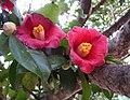 山茶花 Camellia japonica -南韓麗水梧桐島 Odongdo, South Korea- (14272882879).jpg