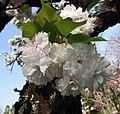 市原虎之尾櫻 Cerasus serrulata Albo Plena -日本京都植物園 Kyoto Botanical Garden, Japan- (41038834124).jpg