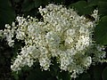 暴馬丁香 Syringa reticulata v amurensis -維也納大學植物園 Vienna University Botanical Garden- (27744504854).jpg