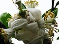 柚子花 Pummelo Flowers - panoramio.jpg
