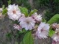 榆葉梅 Prunus triloba -鄭州紫荊山公園 Zhengzhou, China- (9227119501).jpg