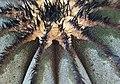 櫛刺尤伯球 Uebelmannia pectinifera - panoramio.jpg