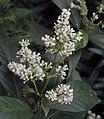 水錦樹 Wendlandia uvariifolia -台北植物園 Taipei Botanical Garden- (9229897682).jpg