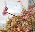 紅孔雀茅膏菜(紅孔雀毛氈苔) Drosera paradoxa -香港公園 Hong Kong Park- (14555263858).jpg