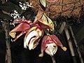 虎斑鍾馗蘭 Stanhopea tigrina -英格蘭 Wisley Gardens, England- (9255245062).jpg