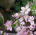 野黑櫻桃 Prunus ishidoyana -南韓晨靜樹木園 Garden of Morning Calm, South Korea- (33793683172).jpg