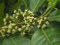 銀柴(大沙葉)-雌花 Aporusa dioica -香港馬灣公園 Ma Wan Park, Hong Kong- (9216098892).jpg