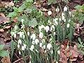 -2019-01-07 Snowdrops, Trimingham churchyard (2).JPG