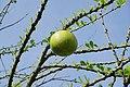 011 Mojo Fruit, Candi Brahu (39533866225).jpg