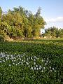 06339jfBarangay Eichhornia Flowers Pansinao Candaba Mount Arayat Pampanga Riverfvf 29.JPG