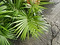 0998Ornamental plants in the Philippines 56.jpg