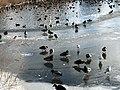 1037.DeHeld.Vinkhuizen.Westpark.Rietvelden.Waterskivijver.Natuur.Watervogels.Eenden.jpg