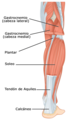 1123 Muscles of the Leg that Move the Foot and Toes b esp.png