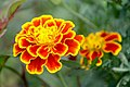 1125 ดอกไม้ในอุทยานแห่งชาติเขาค้อ.jpg