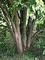 1520-Viburnum lentago-DZ-8.12.JPG