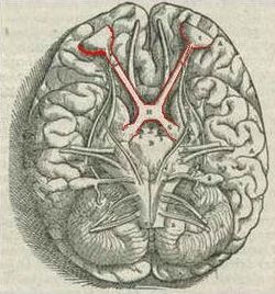 optic chiasm - wikipedia, Human Body