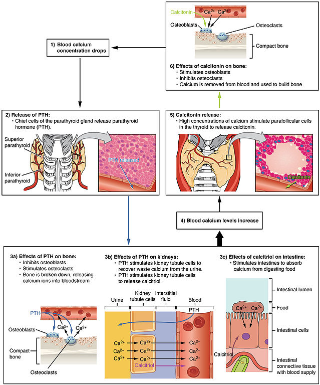 File:1817 The Role of Parathyroid Hormone in Maintaining Blood ...