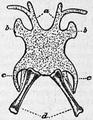 1911 Britannica - Batrachia - Rana esculenta2.png